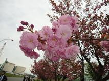出光興産北海道製油所の桜並木