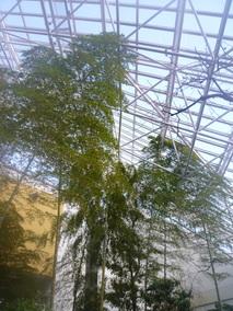 ~天井まで伸びた竹~
